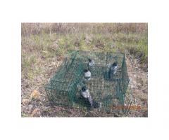 Dolmányos varjú-szarka élvefogó csapda