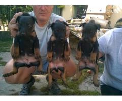 Jagd Terrier  kiskutyák eladók!!