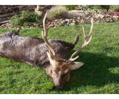 Japán szika és muflon vadászat Csehországban