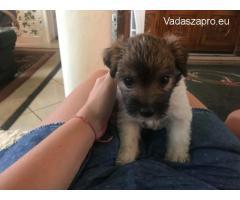 Fajtiszta Drótszőrű Jack Russel Terrier