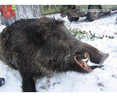 Vaddisznó vadászat Romániában