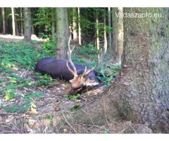 Japán szika bika vadászat Csehországban 2019-ben is