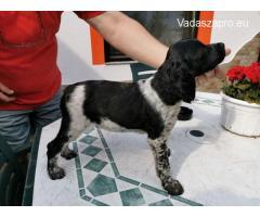 Breton spániel kiskutyák eladók
