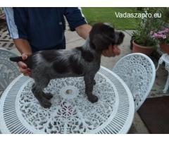 Három szálkás szőrű német vizsla kislány kutyus keresi vadásztársát!