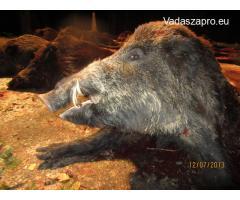 Vaddisznó vadászat Erdélyben, Kolozs megyében, 2019. november 23-24