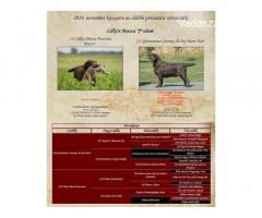 Fajtatiszta Barna Labrador Retriever kölykök elérhetők