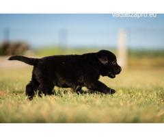 Eladó Minőségi Fajtiszta Labrador jellegű kiskutyák